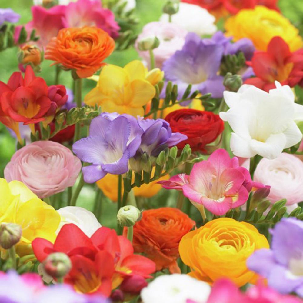 Van Zyverden Grand Freesia and Ranunculus Blend Bulbs (Set of 25)
