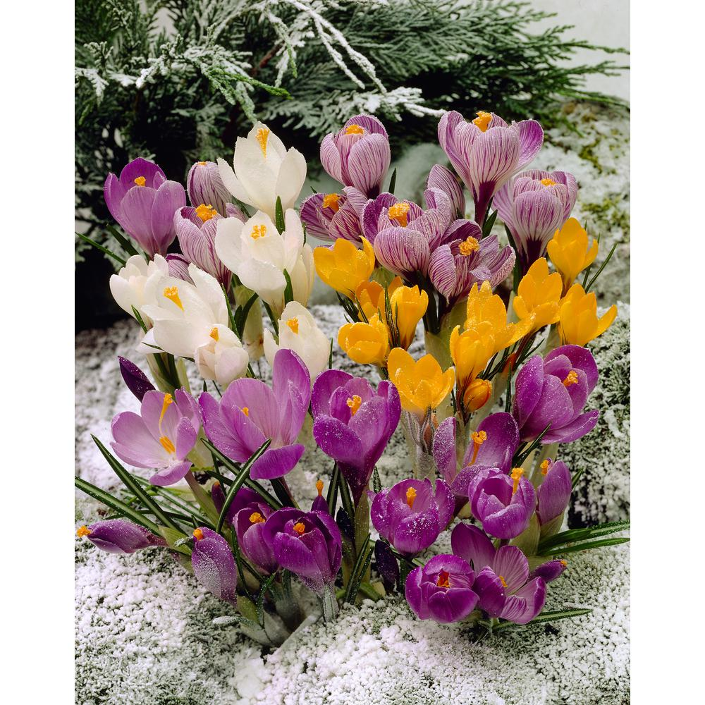 Bloomsz Snow Crocus Mix 30 Bulbs 30 Pack 08944 The Home Depot