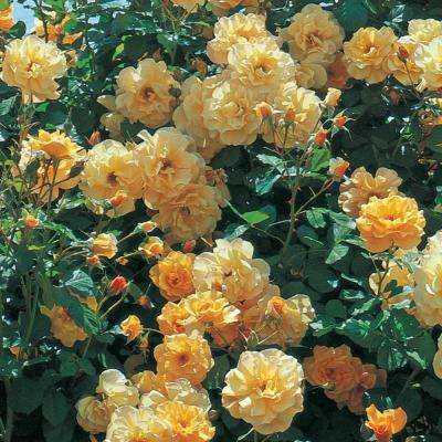 Autumn Sunset Climbing Rose, Live Bareroot Plant, Apricot Color Flowers (1-Pack)
