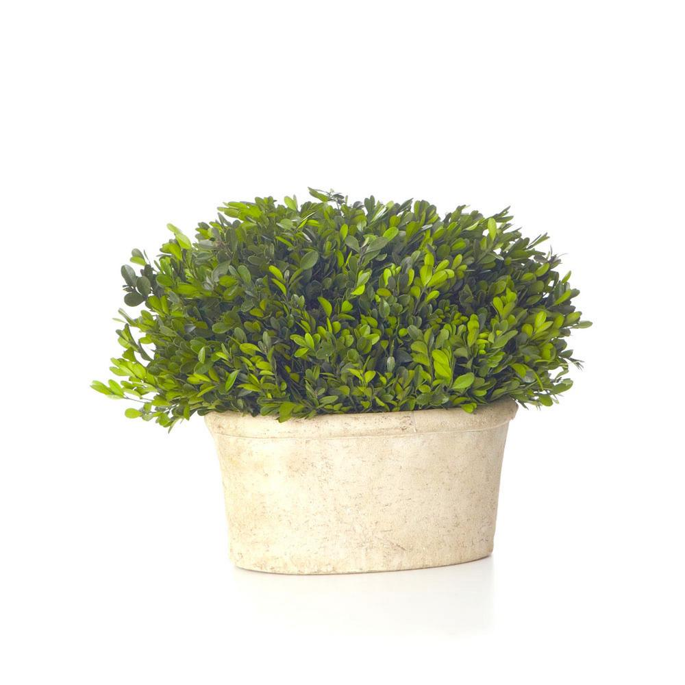 Boxwood Collection 13 in. Preserved Boxwood Oval Topiary