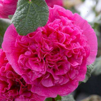 Pink flower bulbs garden plants flowers the home depot hollyhocks double pink roots 5 pack mightylinksfo