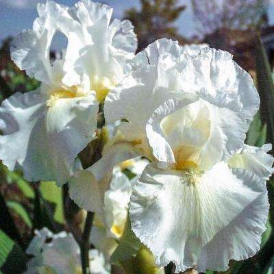 Frequent Flyer Reblooming Iris White Flowering Live Bareroot Plant