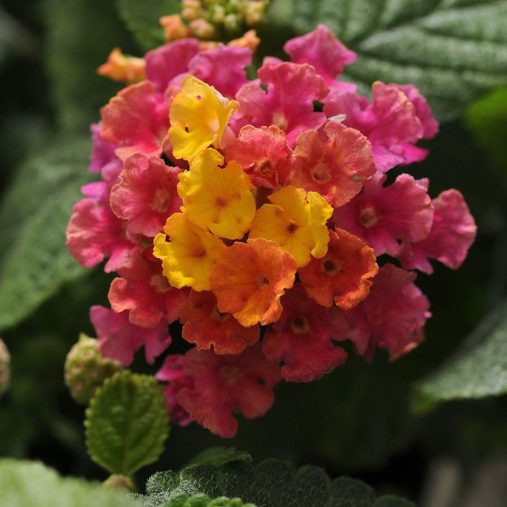 2.5 Qt. Little Lucky Hot Pink Lantana, Live Perennial Plant, Pink And Yellow