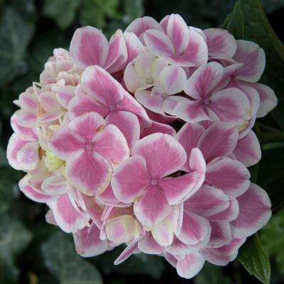 4 in. Pot Forever and Ever Peppermint Hydrangea, Live Deciduous Plant, White/Pink Flowers with Green Foliage (1-Pack)