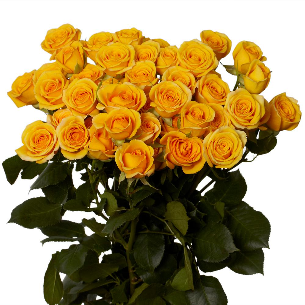 Globalrose Fresh Yellow Spray Roses 100 Stems 350 Blooms Spray