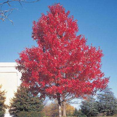 Green Foliage Scarlet Maple (Acer) Live Bareroot Shade Tree (1-Pack)