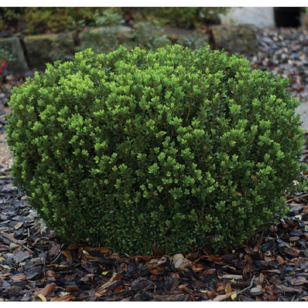 2 Gal. Boxwood Baby Gem, Live Shrub Plant, Glossy Green Foliage