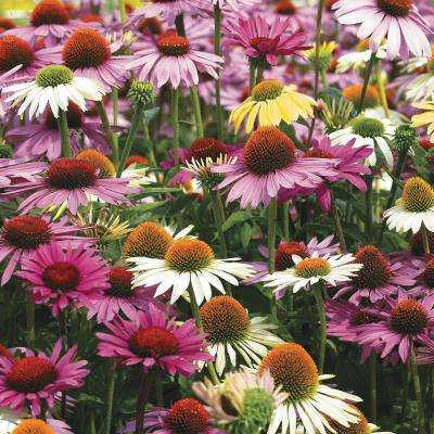 Multi-Colored Coneflower Mixture (Echinacea), Live Bareroot Perennials (5-Pack)