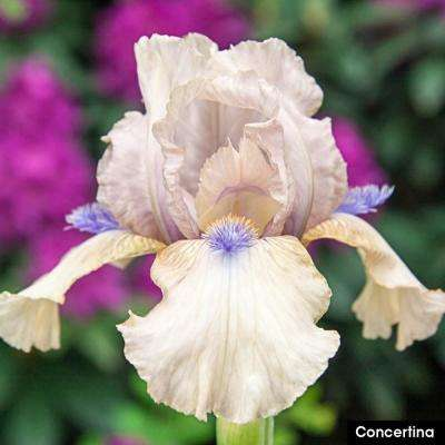 Concertina Bearded Iris Rose Pink Flowers Live Bareroot Plant with Blue Accents