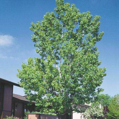 Green Foliage Hybrid Poplar Tree (Populus) Live Bareroot Shade Tree (1-Pack)