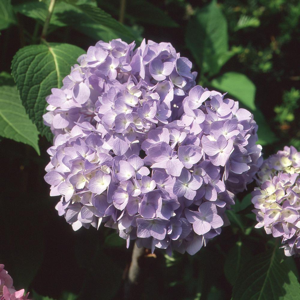 8 In. BloomStruck Hydrangea Shrub with Purple Flowers