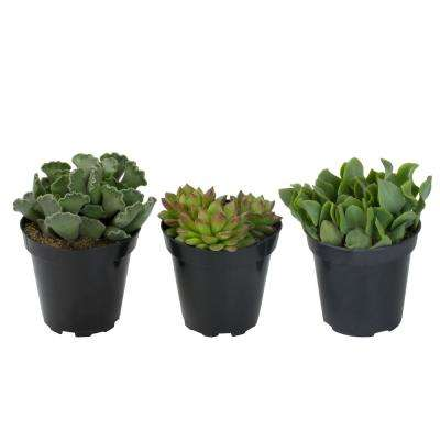 3.5 in. Shades of Green Succulent Collection (3-Pack)