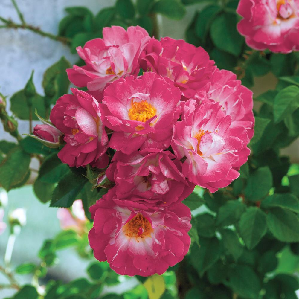 Spring hill nurseries 4 in pot cupids kiss climbing rose rosa spring hill nurseries 4 in pot cupids kiss climbing rose rosa mightylinksfo