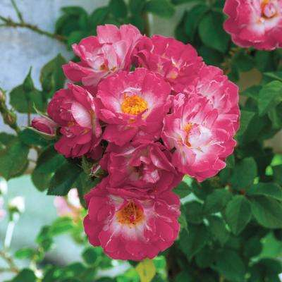 Cupid's Kiss Climbing Rose Potted Plant