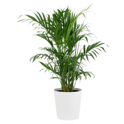 1.9加仑Cataractarum Cat Palm Plant in 9.25英寸设计师锅