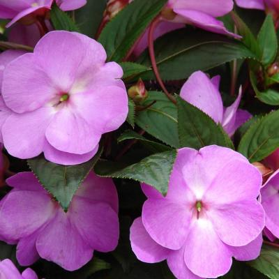 2.25 Qt. SunPatiens Purple Impatien Outdoor Annual Plant with Lilac Flowers in 2.75 In. Cell Grower's Tray (6-Plants)