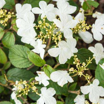4 In Pot Summer Snowflake Viburnum Live Deciduous Plant With White Flowers Green