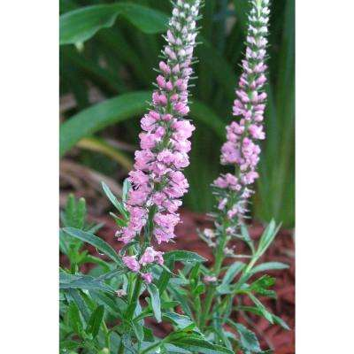 Sweet Lullaby Veronica 4.5 in. Quart
