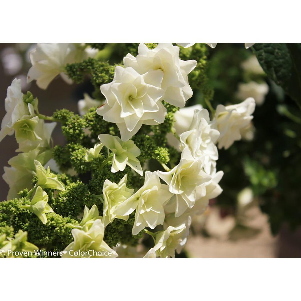 4.5 in. Qt. Gatsby Star Oakleaf Hydrangea (Quercifolia) Live Shrub, White Flowers
