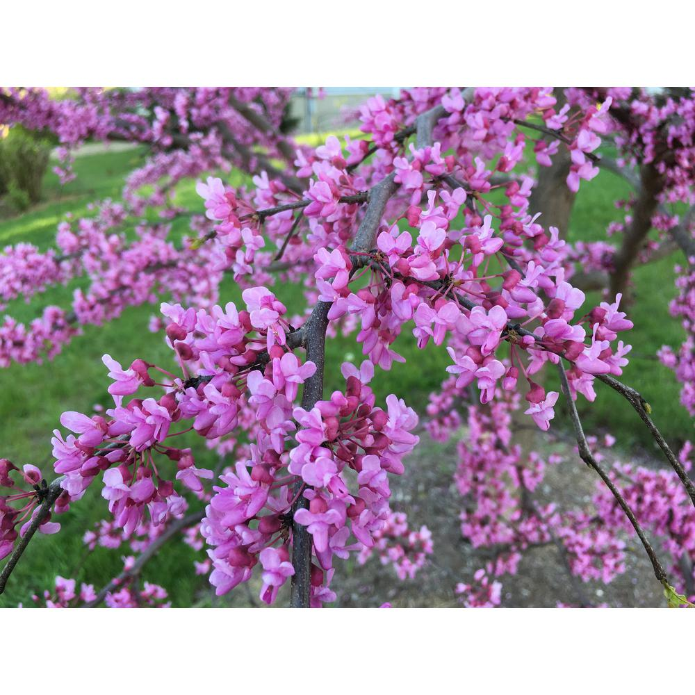 Online Orchards Eastern Redbud Tree Bare Root Flrb001 The Home Depot