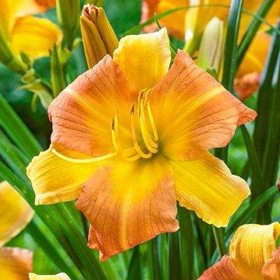 5 20 to 10 f yellow gardens alive perennials garden everydaylily punch yellow daylily bareroot plant mightylinksfo