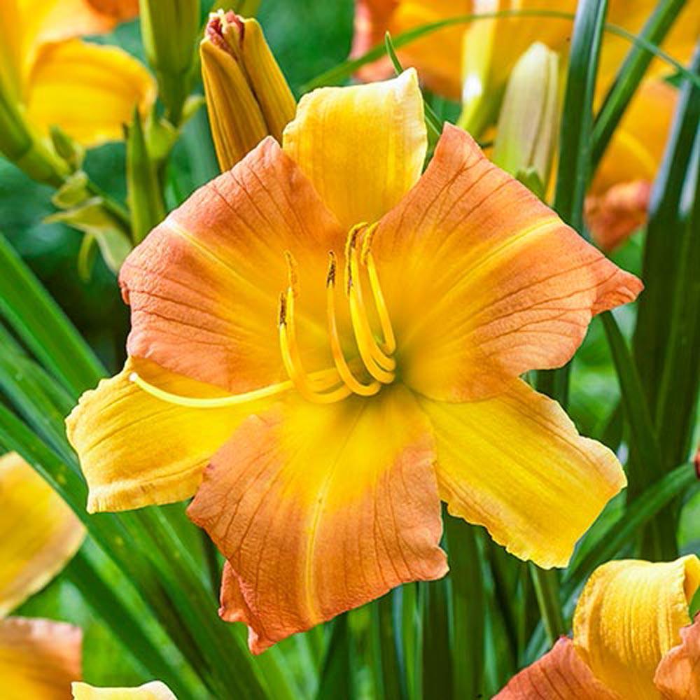 EveryDaylily Punch Yellow Daylily Bareroot Plant