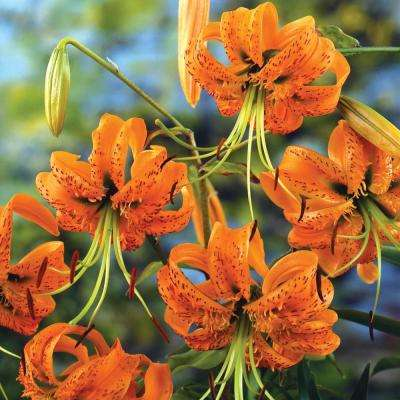 Henry's Tiger Lily Bulbs (5-Pack)