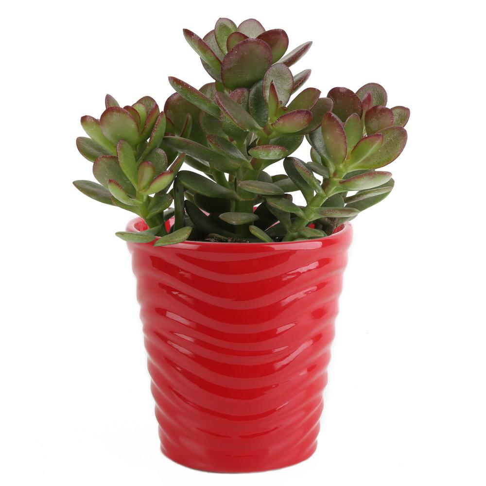 Costa Farms 4 in. Jade Crassula Plant in Red Ceramic Pot