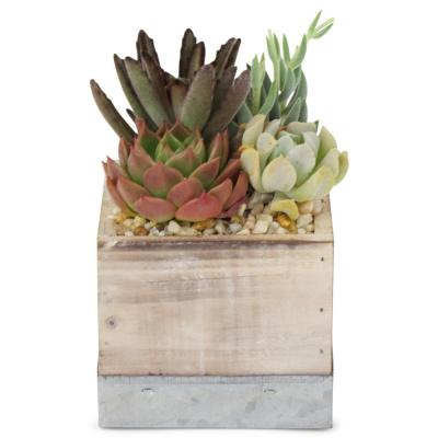 1.38 Pt. Succulent Plant Combo in 4 In. Wood Box