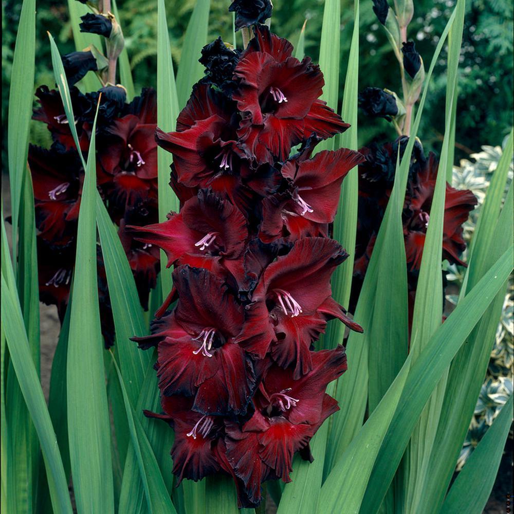 Gladiolus Large Flowering Black Beauty Bulbs (Set of 12)