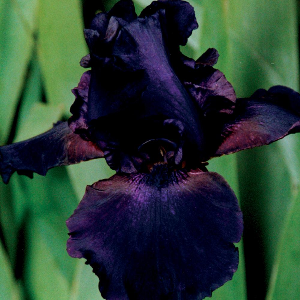 Bearded Iris Bulbs Supersion Set Of 3 Roots