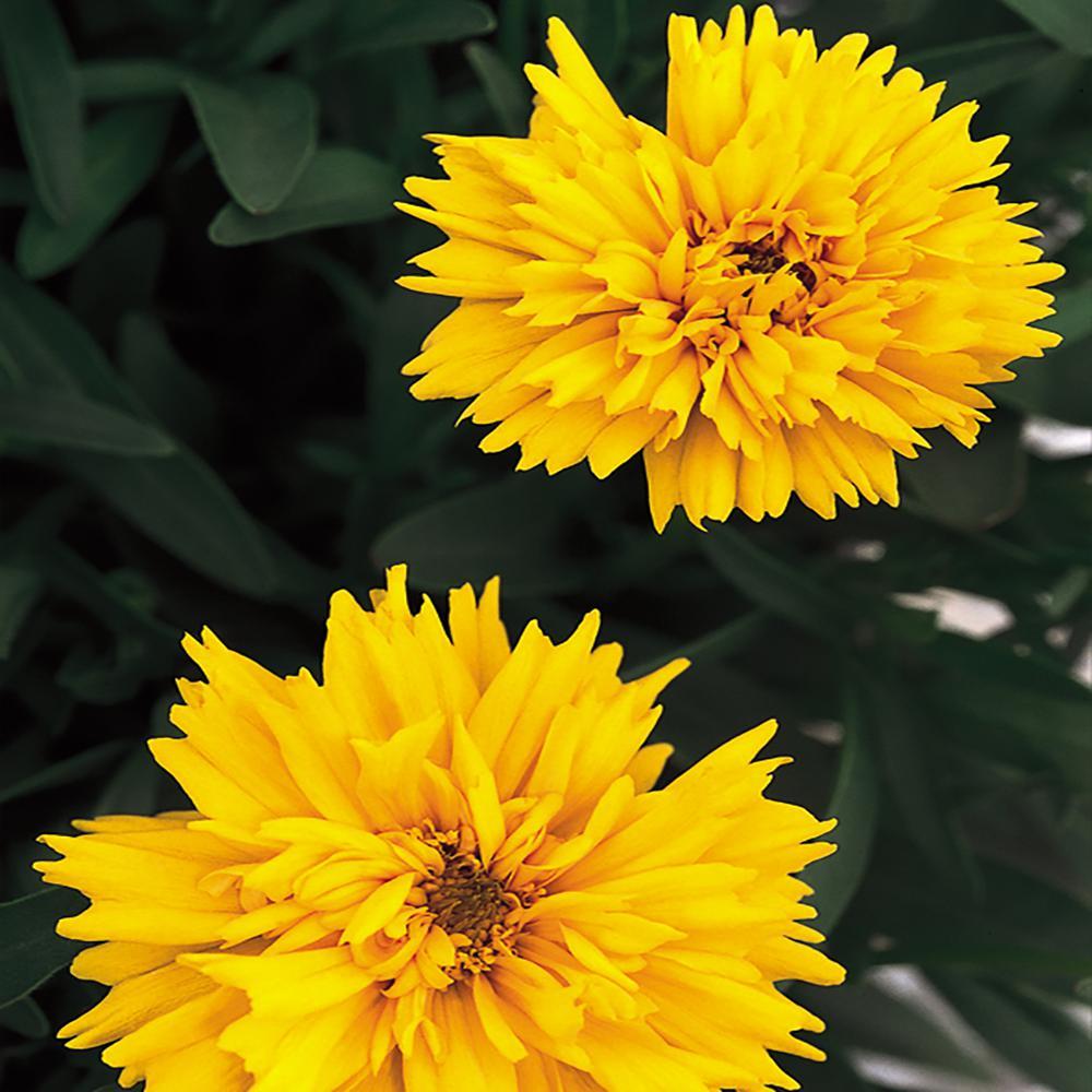 2.5 Qt. Solanna Yellow Golden Sphere Tickseed Plant