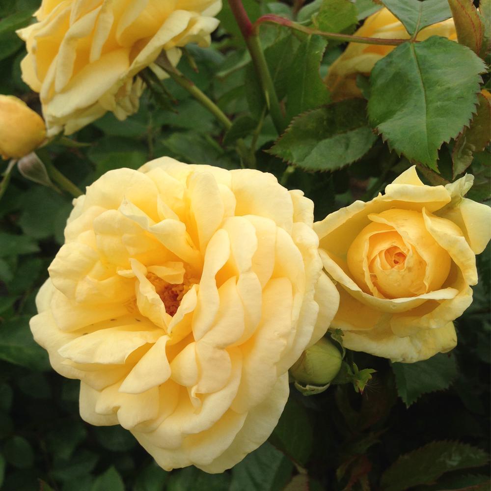 ProUse Rose Sunshine Daydream
