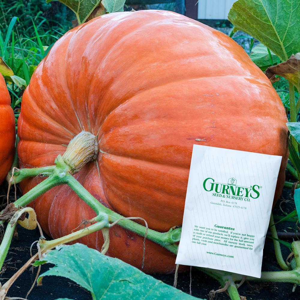Pumpkin Big Max (25 Seed Packet)