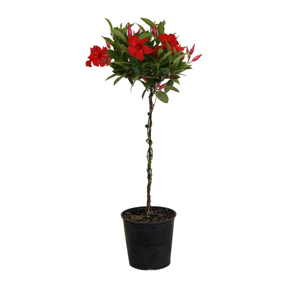 United Nursery 2 Gal Red Mandevilla Topiary Plant In 9 25 In