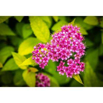 1 Gal. Goldflame Spirea Shrub Neon Yellow Foliage Clashes Beautifully Against Bright Red Flowers
