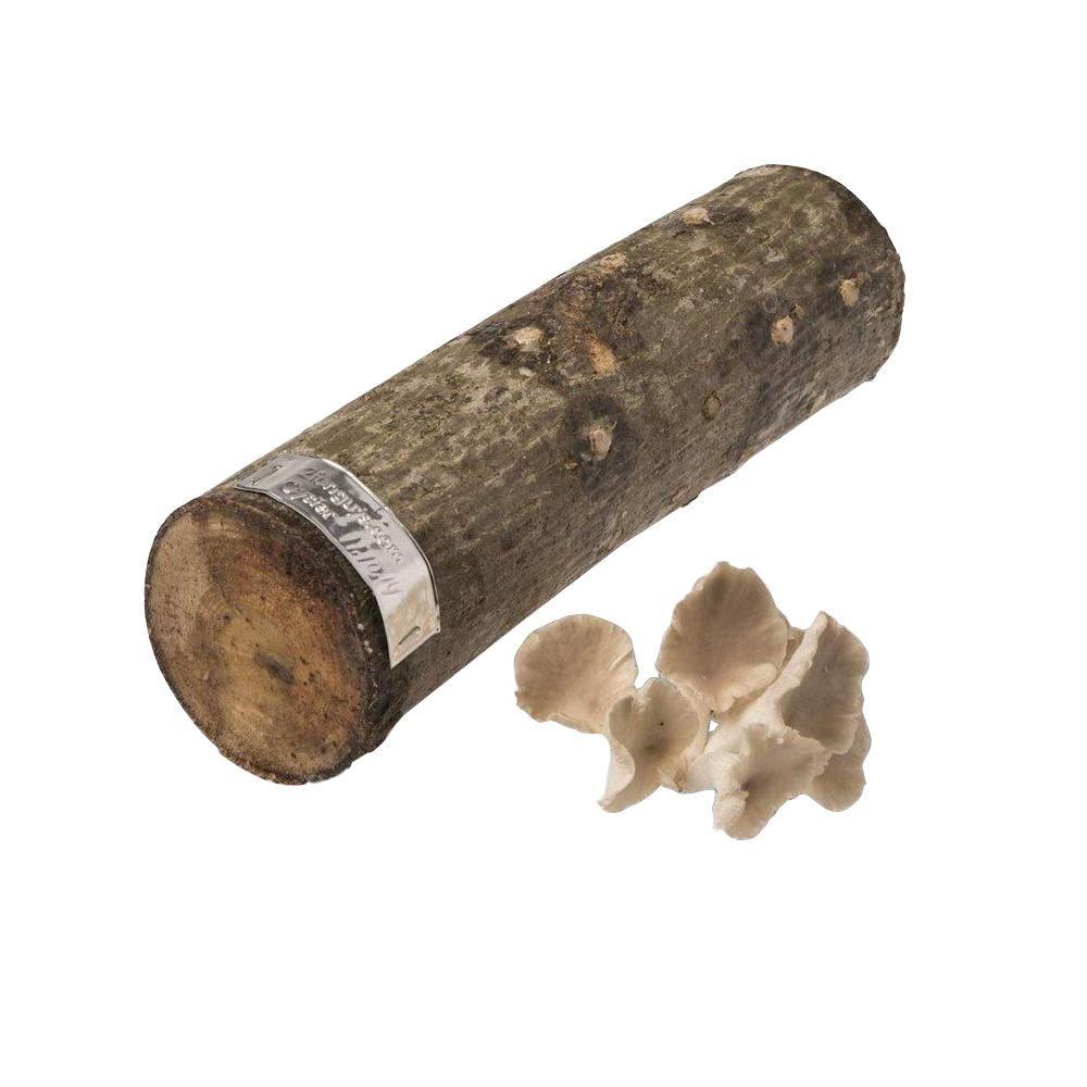 12 in. Oyster Mushroom Log