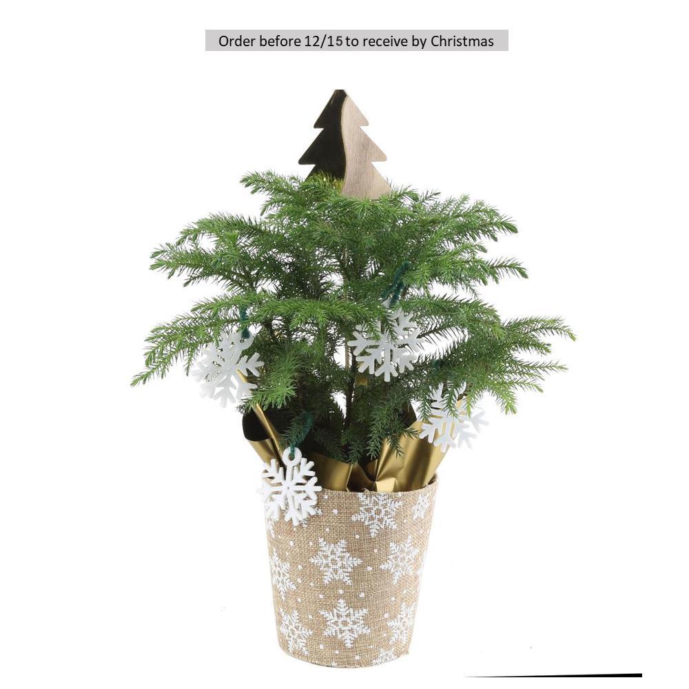 4 in. Fresh Norfolk Island Pine in Burlap Pot