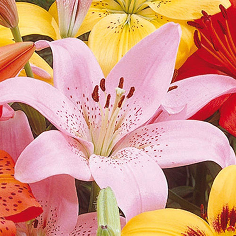 Van bourgondien asiatic lily rosellas dream bulbs 25 pack 01269 van bourgondien asiatic lily rosellas dream bulbs 25 pack izmirmasajfo