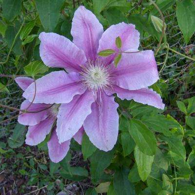 3 in. Pot Carnaby Clematis Live Perennial Plant White and Pink Flowering Vine