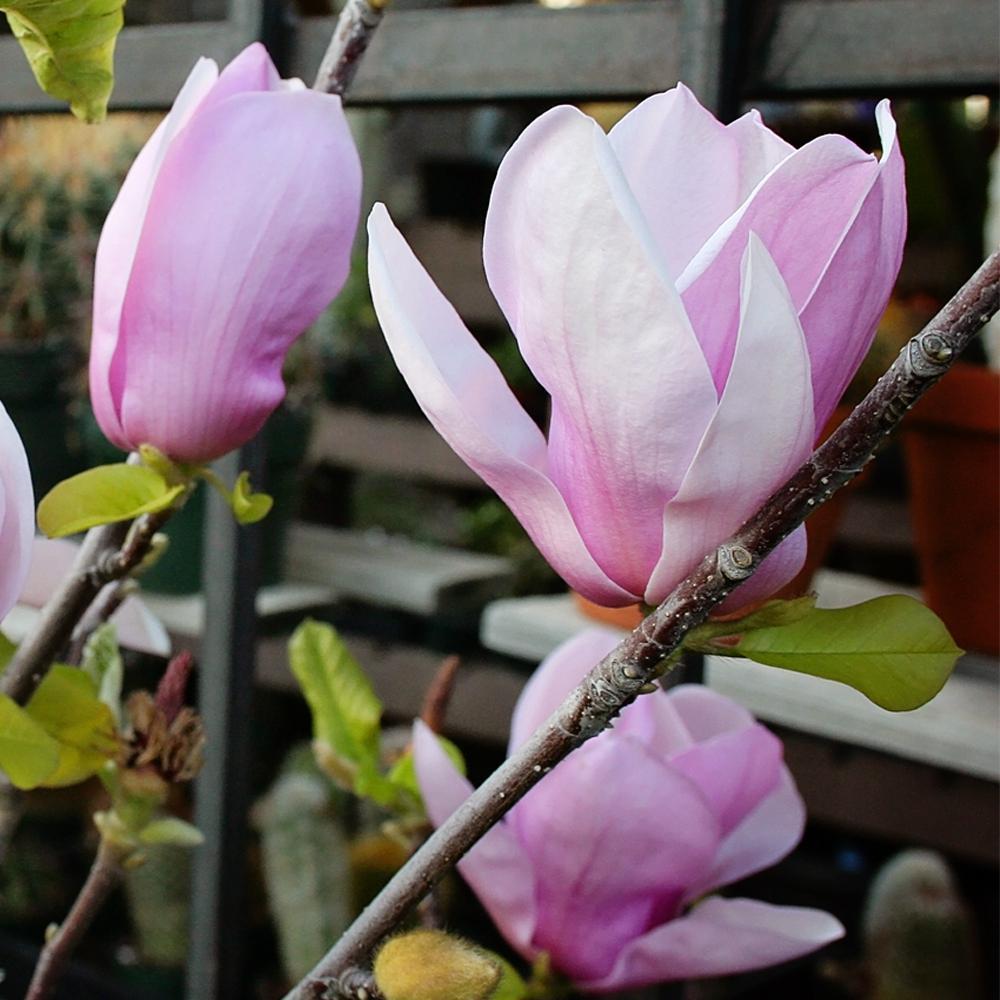 Alexandrina Japanese Magnolia Tree