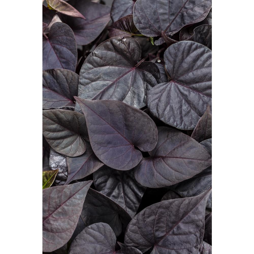 Sweet Caroline Sweetheart Jet Black Sweet Potato Vine(Ipomoea) Live Plant, Deep Purple Foliage, 4.25 in. Grande,4-pack