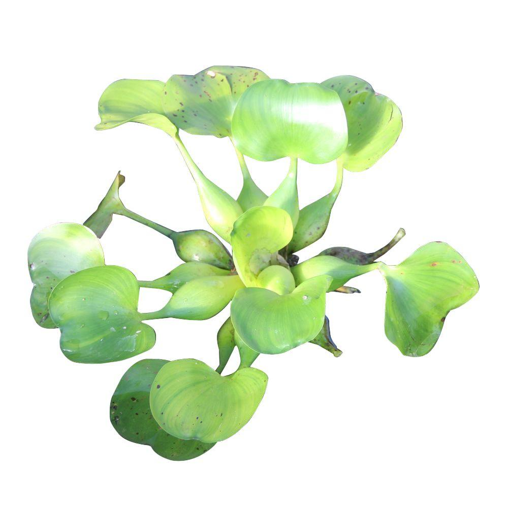 Water Hyacinth Floating Water Plant