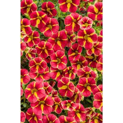 Superbells Cardinal Star (Calibrachoa) Live Plant Red and Yellow Striped Flowers 4.25 in. Grande (4-Pack)