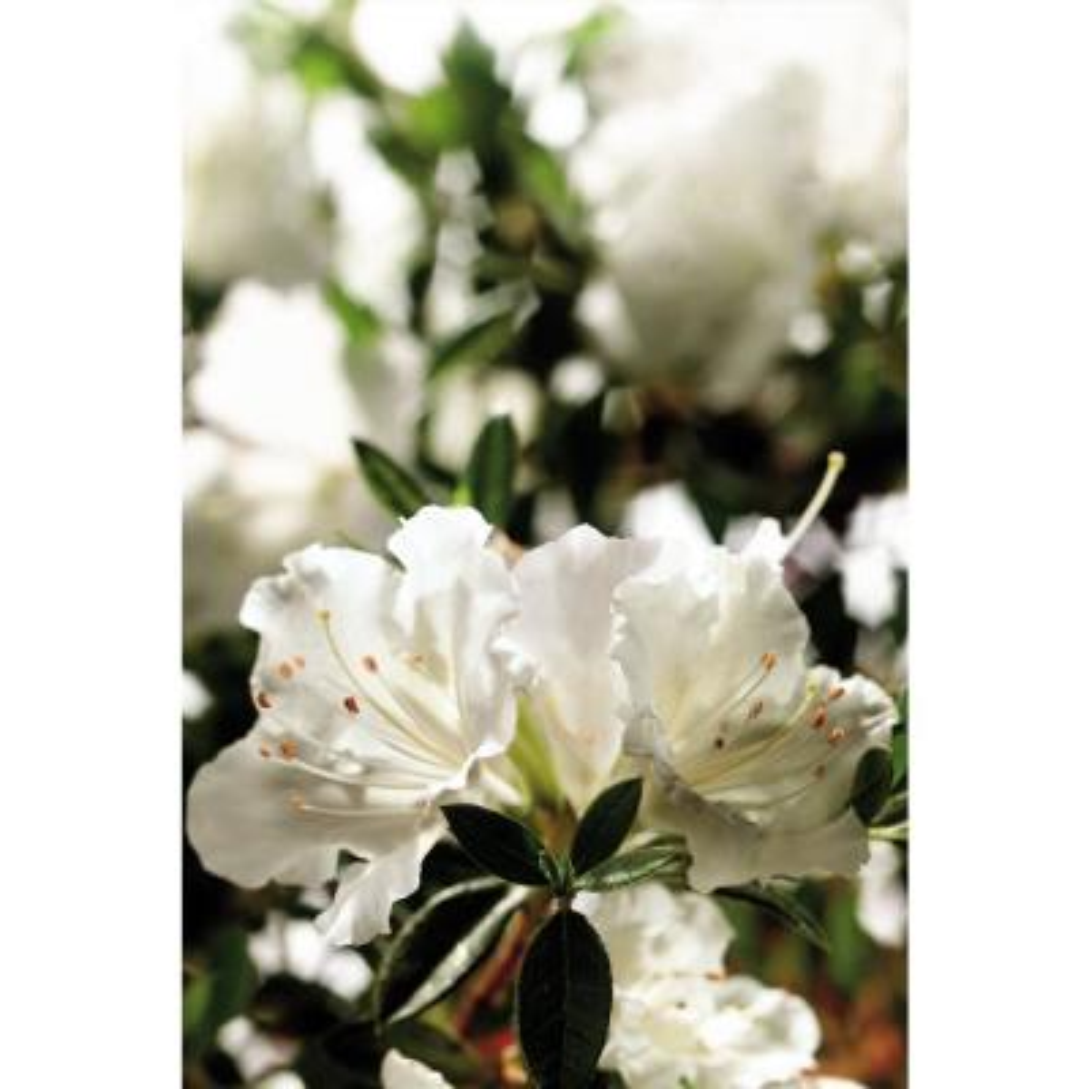 3 Gal. Autumn Angel Azalea Shrub with White Flowers