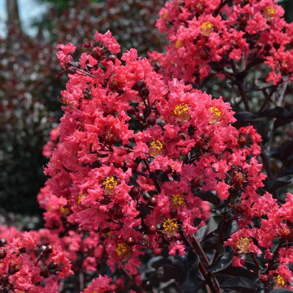 FIRST EDITIONS 3 Gal. Midnight Magic Crape Myrtle Tree with Dark Pink Flowers