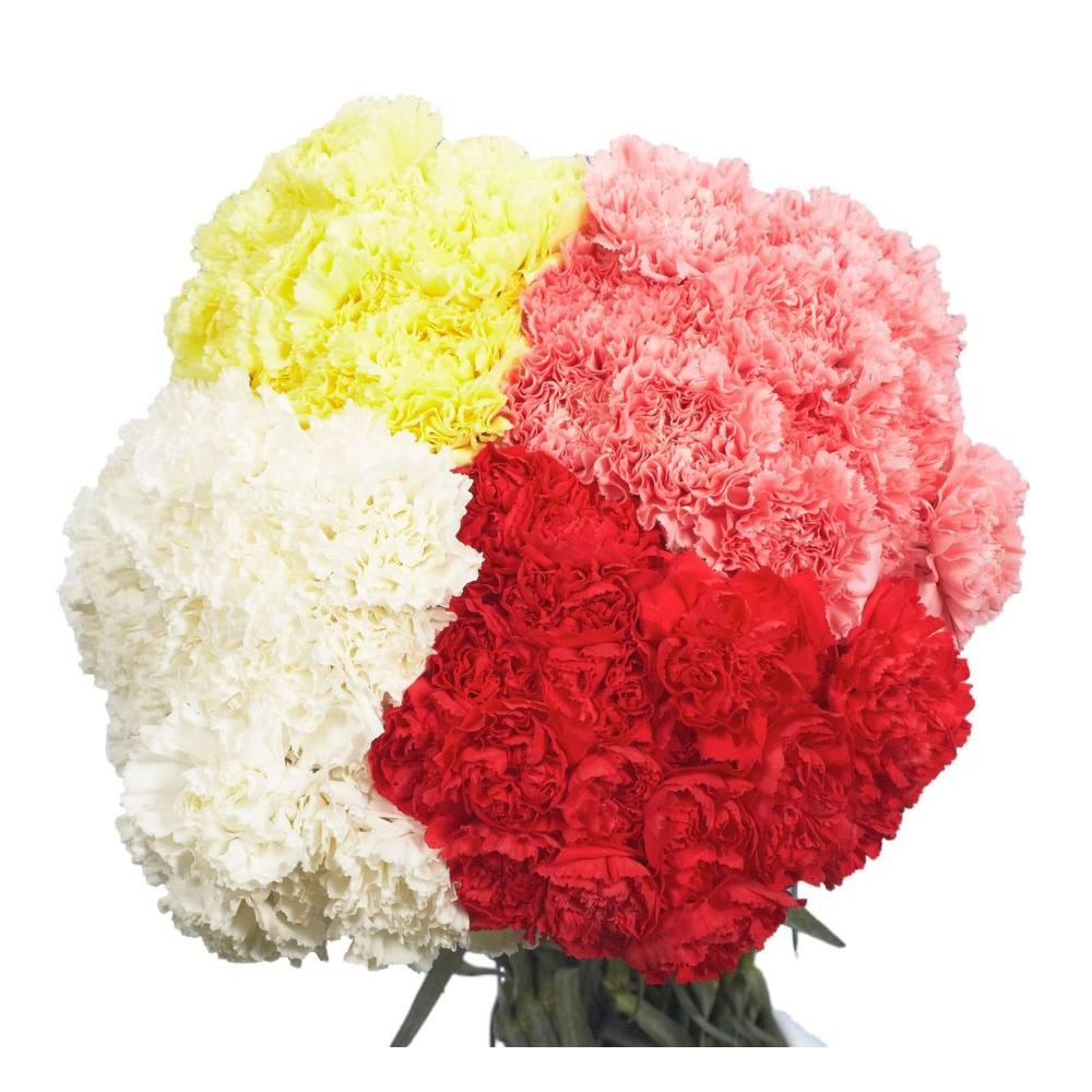 Globalrose Fresh Assorted Carnations Valentines Day Flowers 100