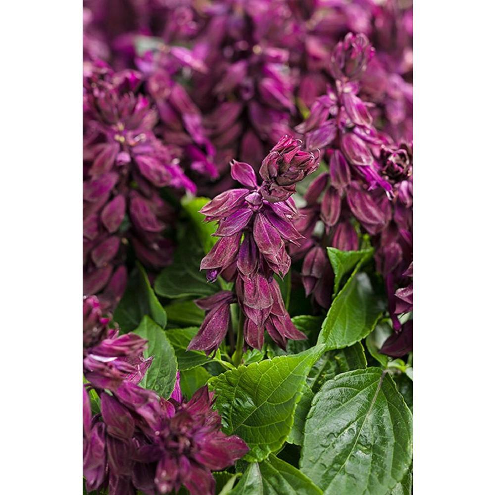 Ablazin' Purple (Salvia) Live Plant, Purple Flowers, 4.25 in. Grande