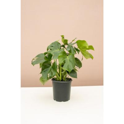 10 in. Split Leaf Philodendron Swiss Cheese Plant (Monstera deliciosa) Plant in Grower Pot