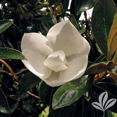 4 in. x 4 in. x 10 in. Magnolia Little Gem Container